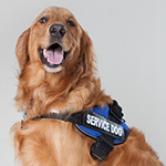 Public Domain photo of a service dog