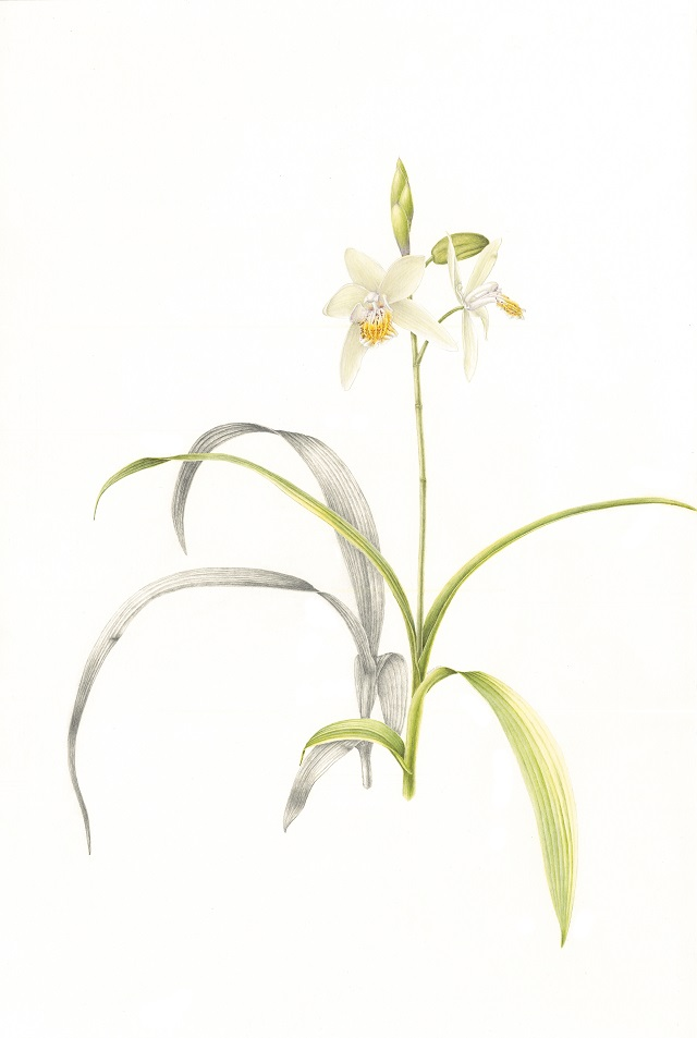 """Chinese Butterfly Orchid,"" by botanist-artist Jeanne Debons, Ph.D."