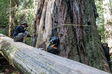 Forestry Students Measuring Old Growth Tree